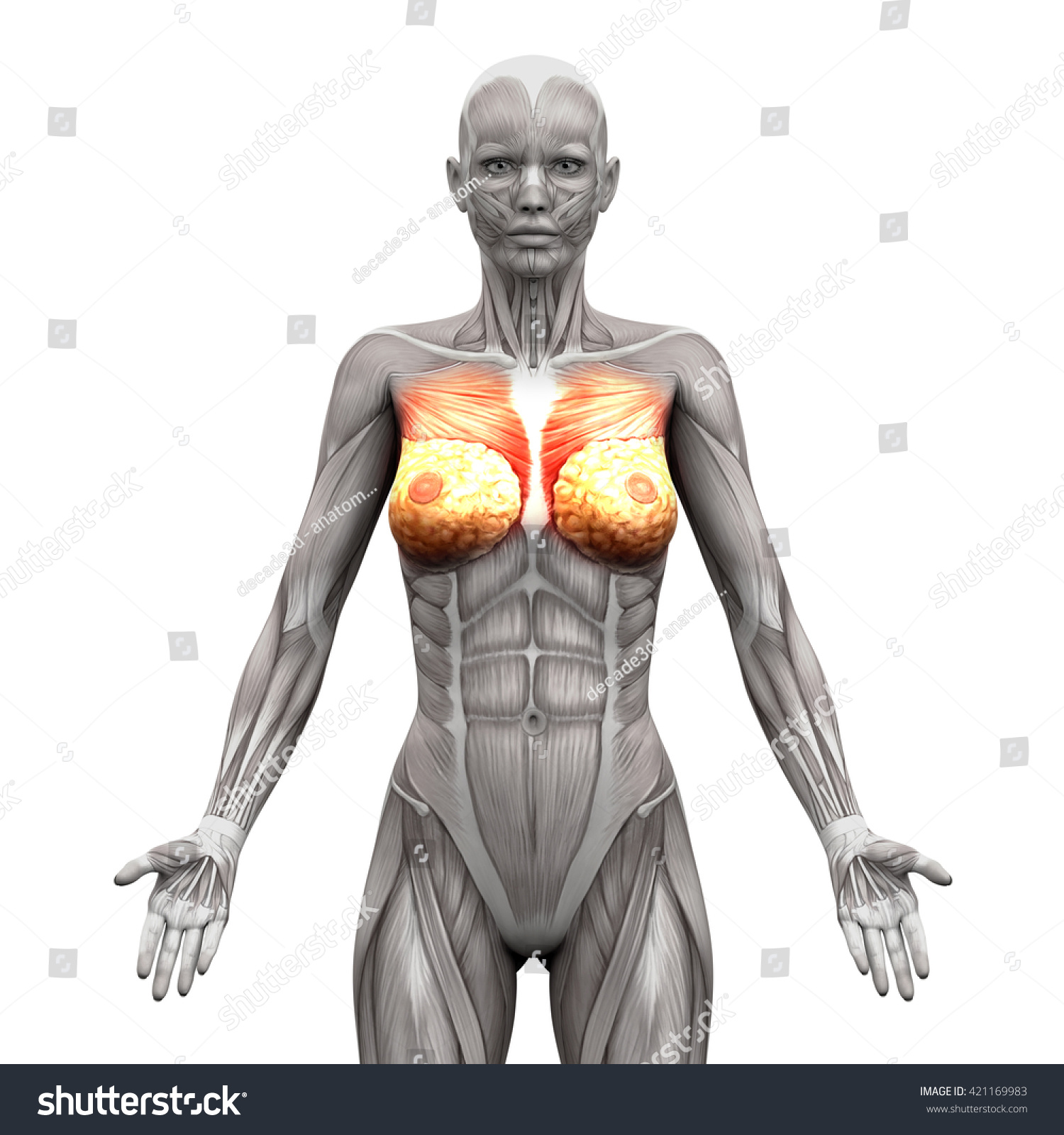Chest Pectoralis Major Minor Anatomy Muscles Stock Illustration ...