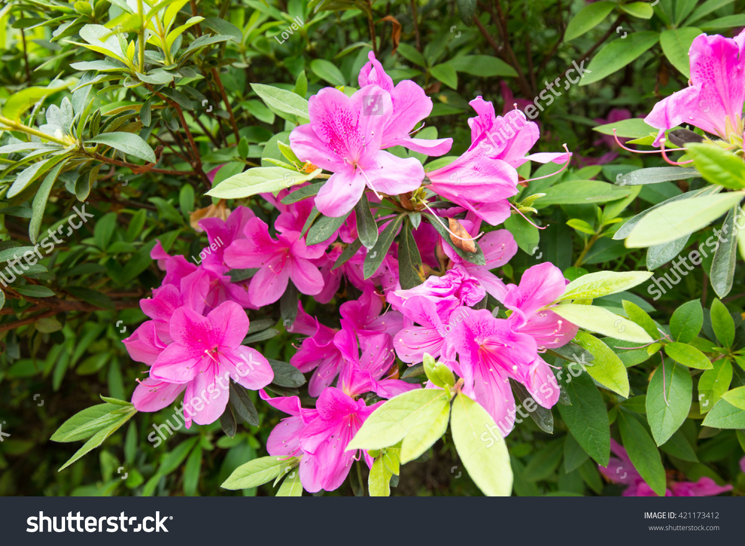 Pretty Pink Colored Flowers On Bush Stock Photo Edit Now 421173412