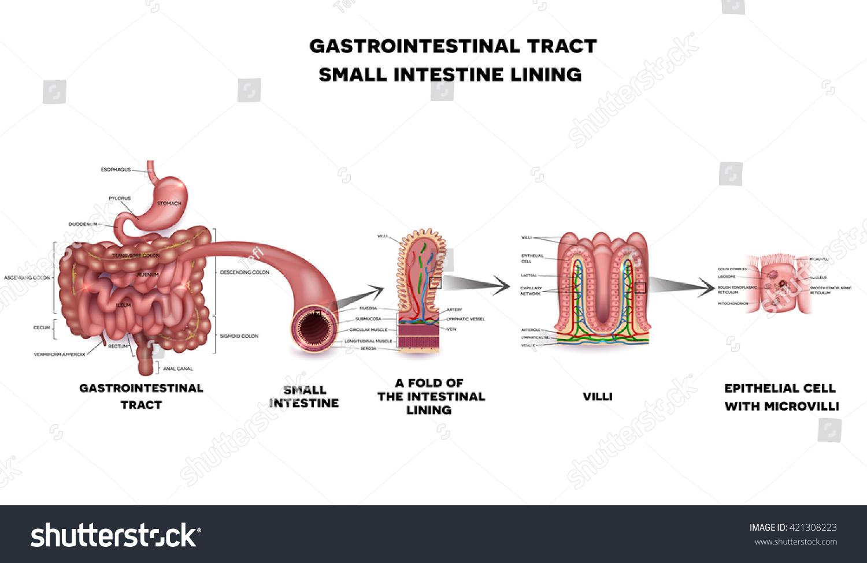 Gastrointestinal System Small Intestine Villi Epithelial Stock