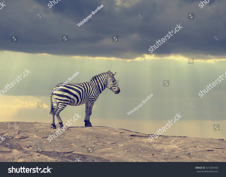 Zebra on stone in Africa, National park of Kenya #421387450