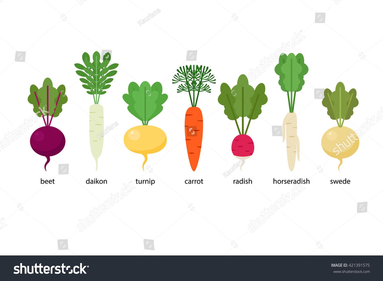 Set Root Crops Daikon Horseradish Radish Stock Vector Royalty Free 421391575