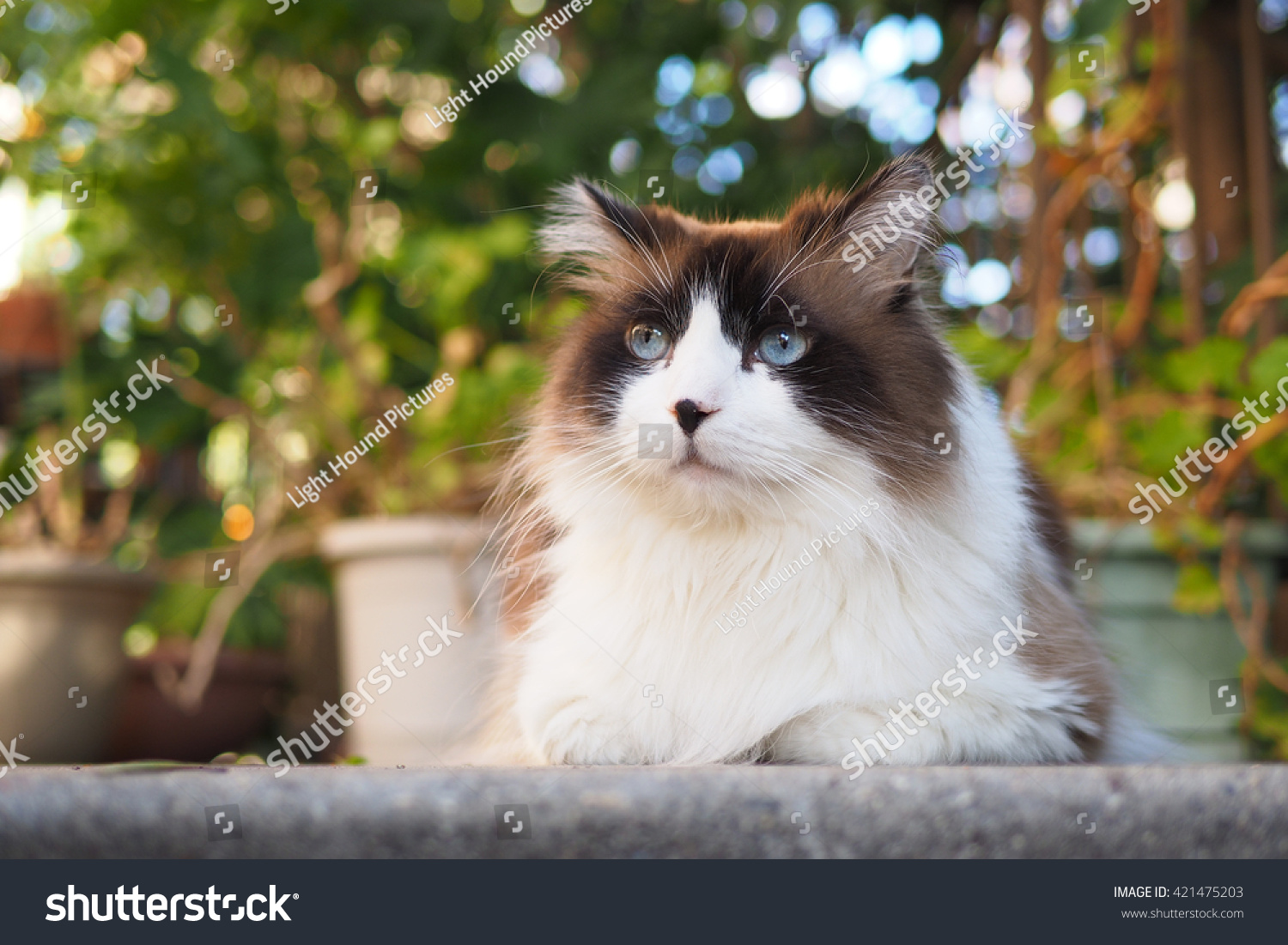 portrait of a handsome wise blue eyed bi color brown white ragdoll