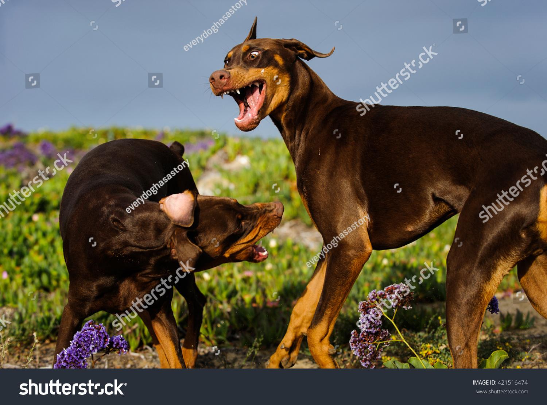 Red Tan Doberman Pinscher Dog Natural Stock Photo Edit Now 421516474