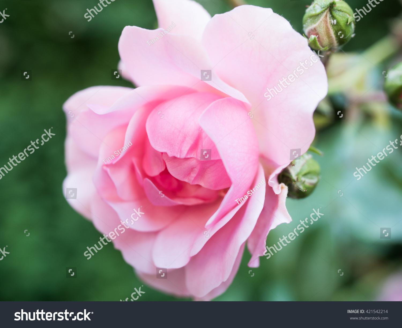 Single Pink Flower Stock Photo Royalty Free 421542214 Shutterstock