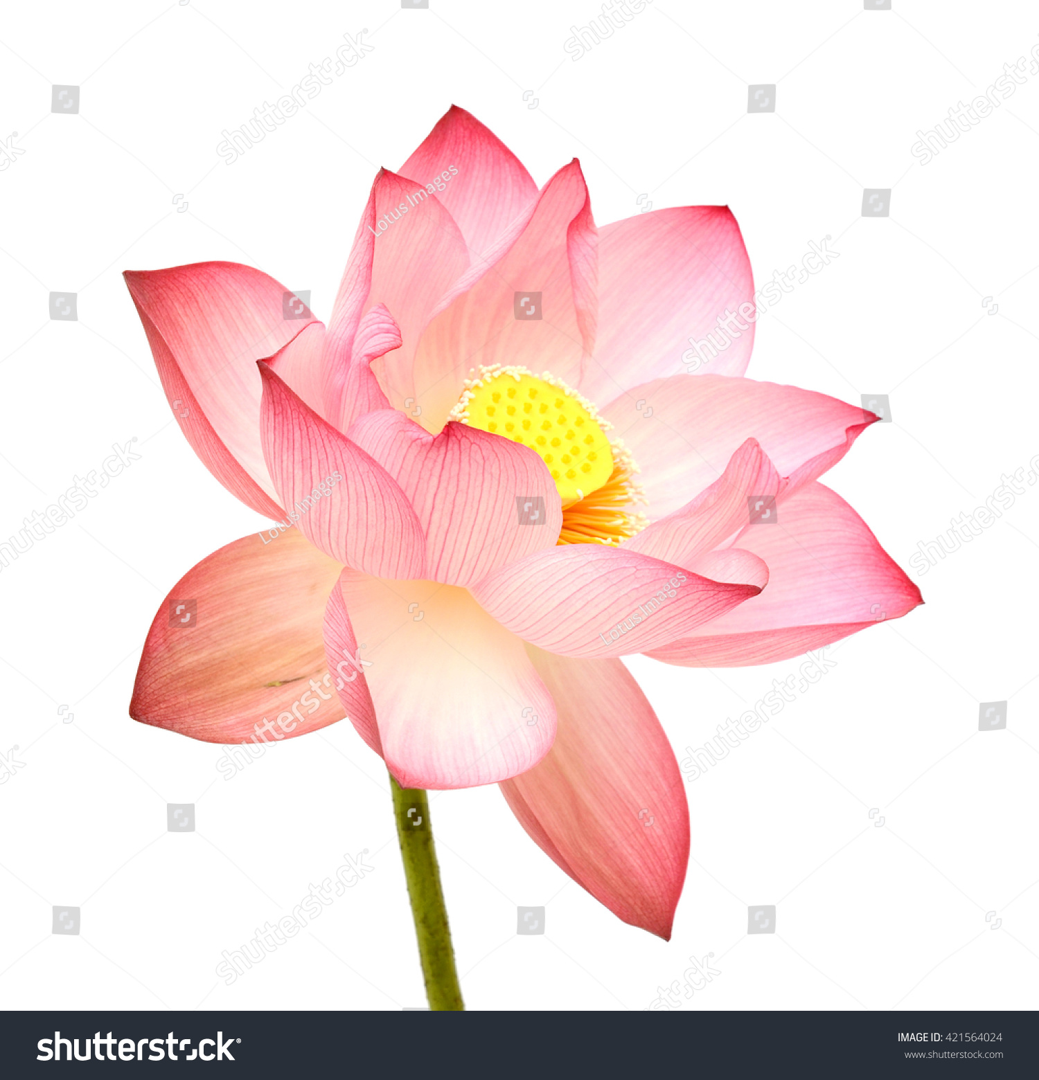 Beautiful Pink Lotus Flower Isolated On White Background Ez Canvas