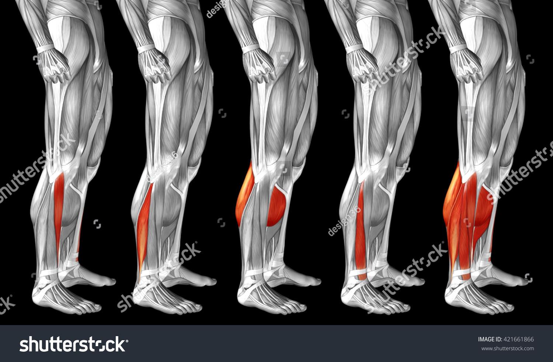 Concept 3 D Human Lower Leg Anatomy Stock Illustration 421661866
