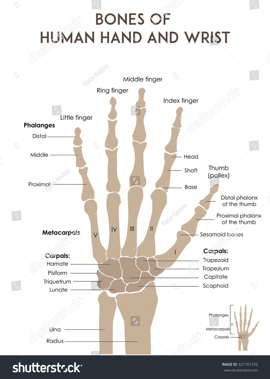 Bones Human Hand Wrist Medically Accurate Stockillustration