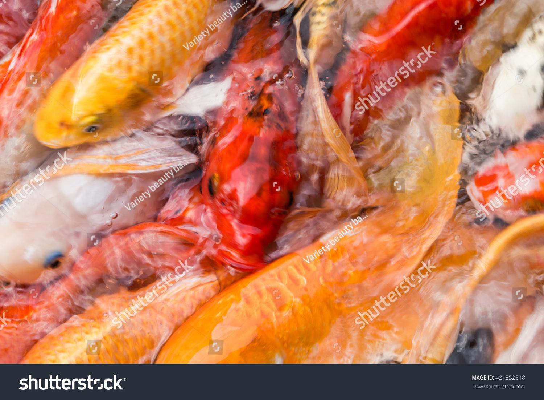 Koi Carps Fish Japanese Swimming Cyprinus Stock Photo (Royalty Free ...