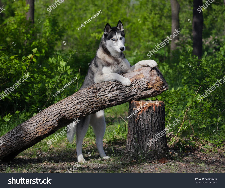 Dog On Hind Legs Siberian Husky Stock Photo Edit Now 421865296