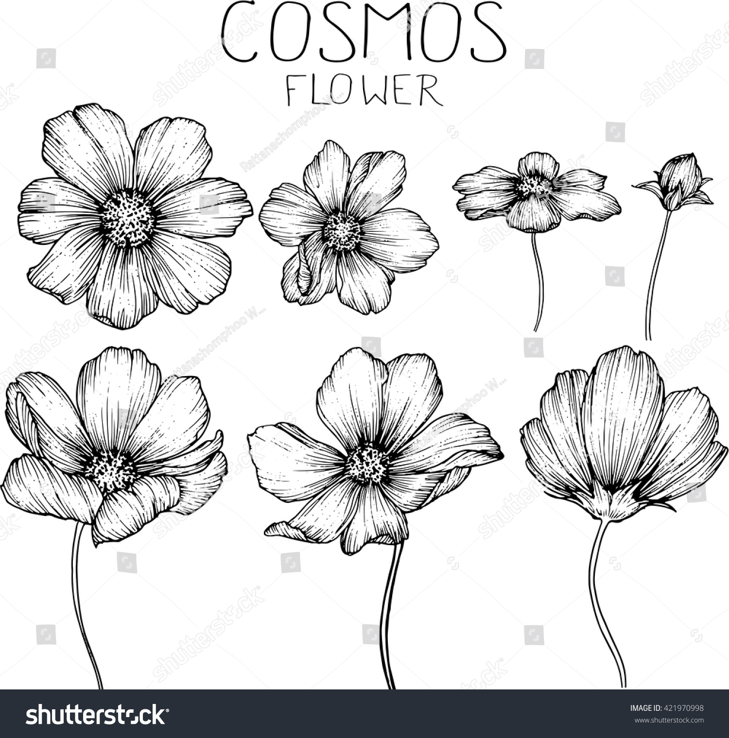 Cosmos Flowers Drawings Vector Stock Vector Royalty Free 421970998