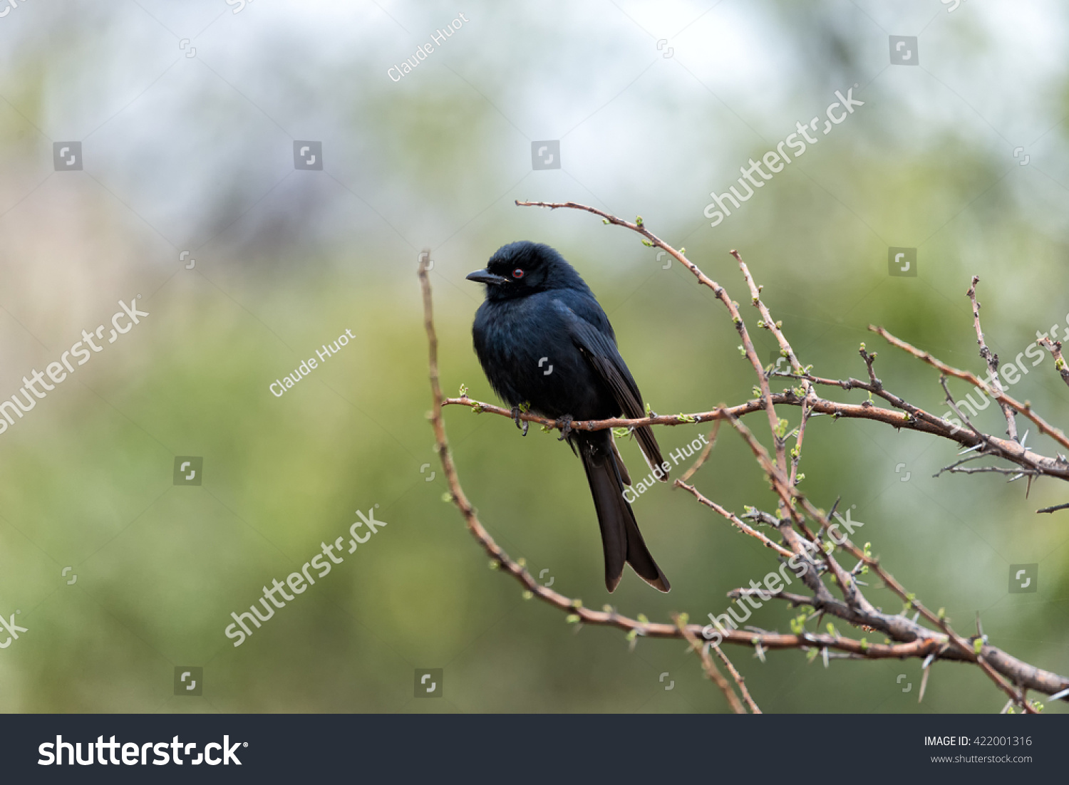 Fork-tailed drongo (Dicrurus adsimilis) perched on a branch in Pilanesberg National Park and Game Reserve, South Africa