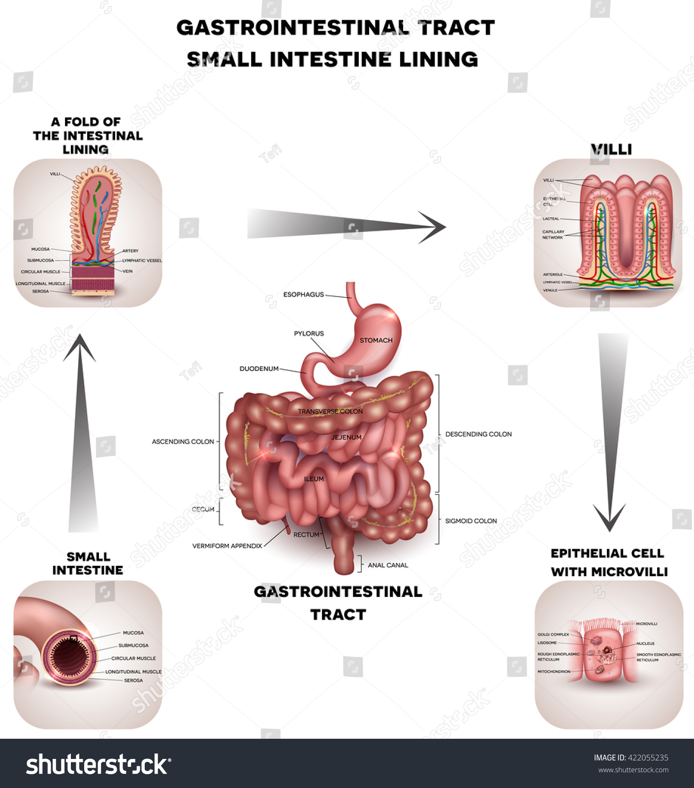Normal Gastrointestinal Tract Small Intestine Detailed Stock ...