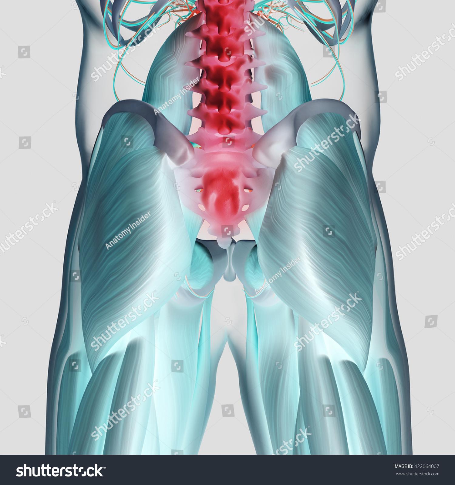 Human Anatomy Spine Pelvis Gluteus Maximus Stock Illustration ...