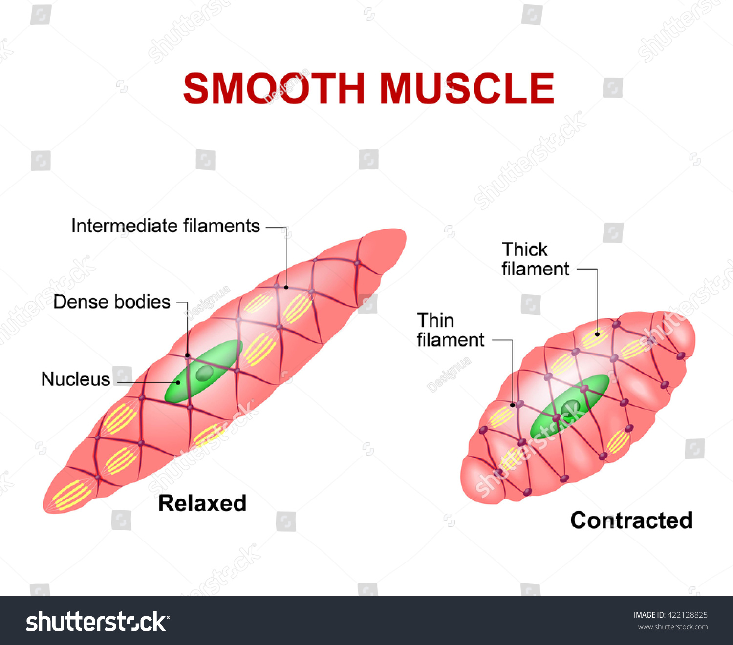 Smooth Muscle Tissue Anatomy Relaxed Contracted Stock Vector