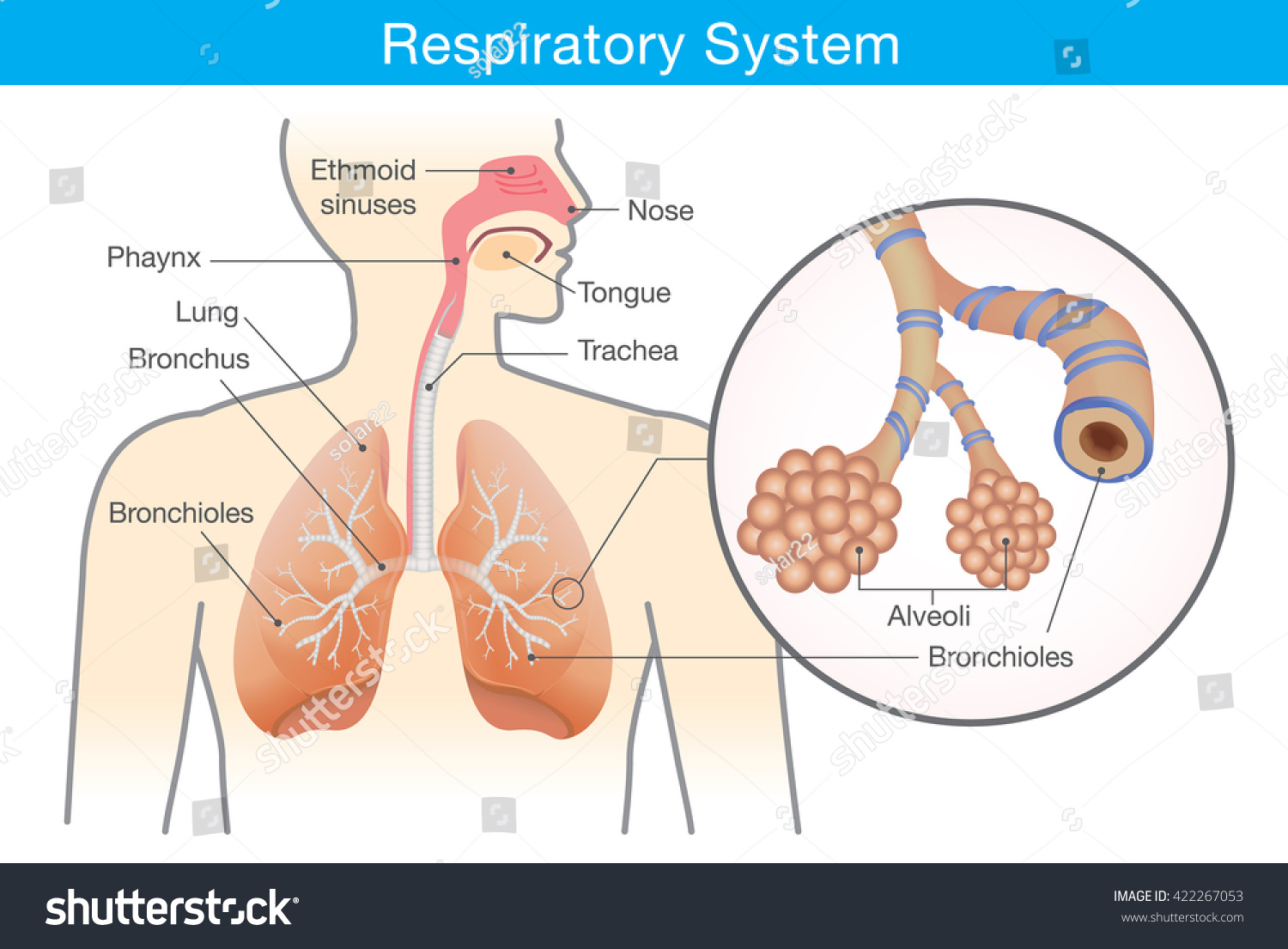 Respiratory System Human This Illustration About Stock Vector ...