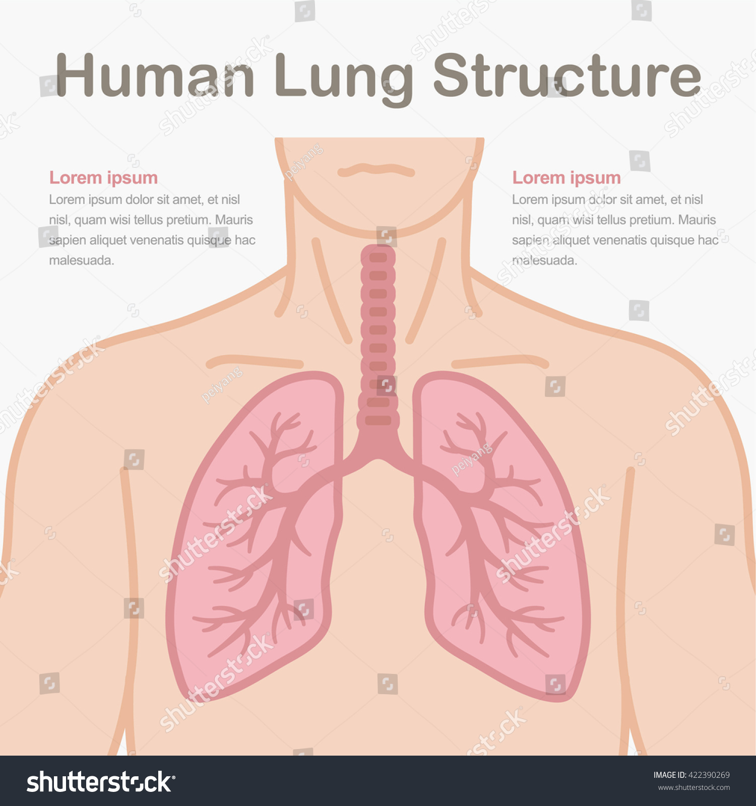 Medical Illustration Showing Structure Human Lungs Stock Vector
