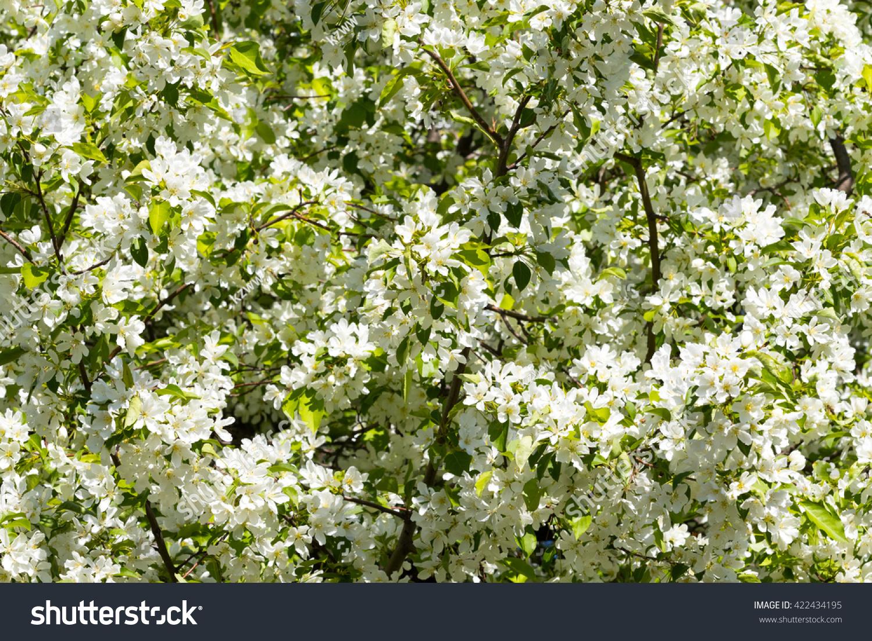 White Flowers Of Apple Trees Spring Landscape Ez Canvas