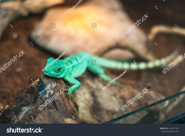 Chinese Water Dragon Terrarium Stock Photo Edit Now 422597752
