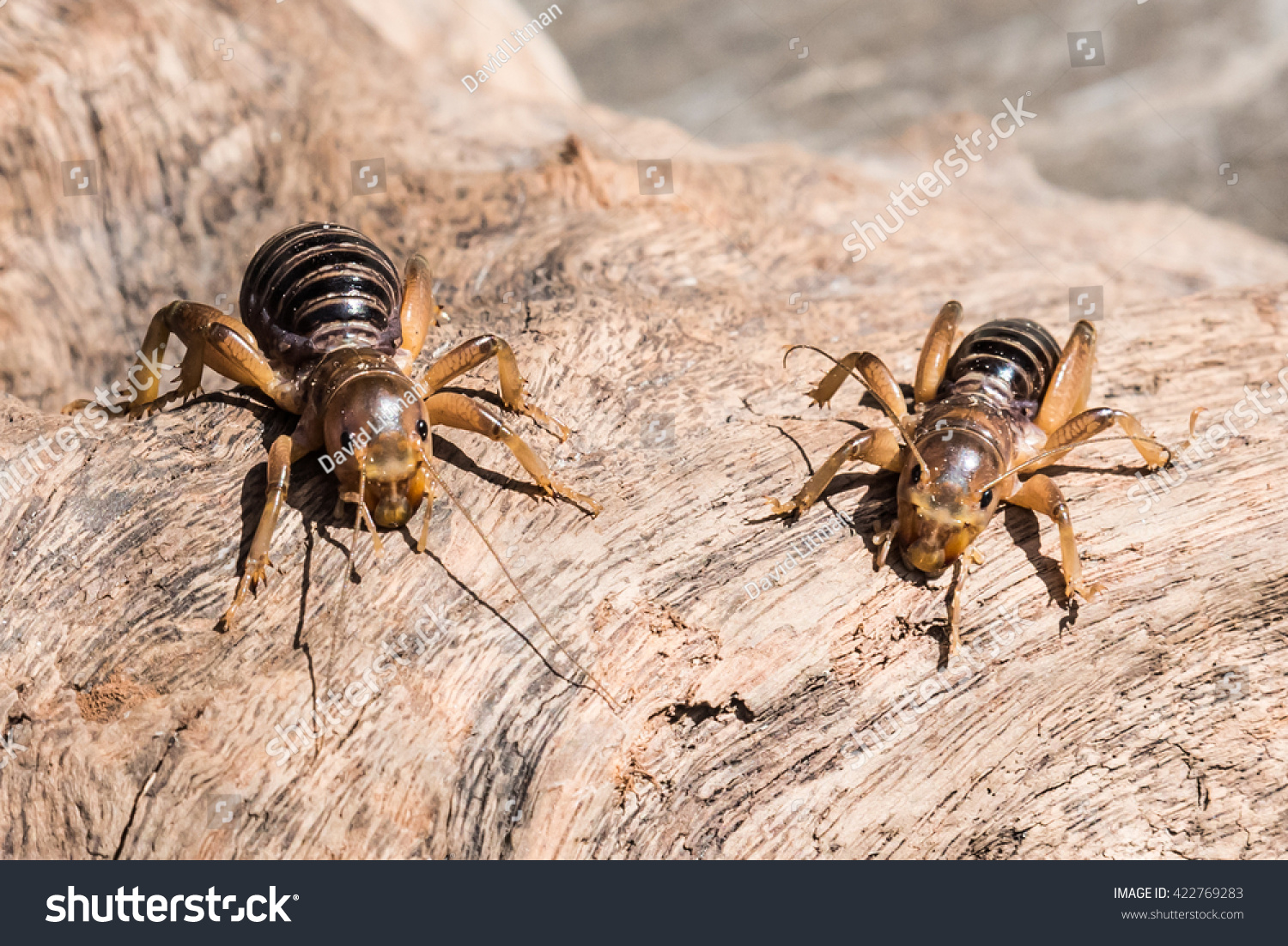 "Jerusalem Crickets (Stenopelmatus cahuilaensis), commonly referred to as ""potato bugs"" are not truly crickets."