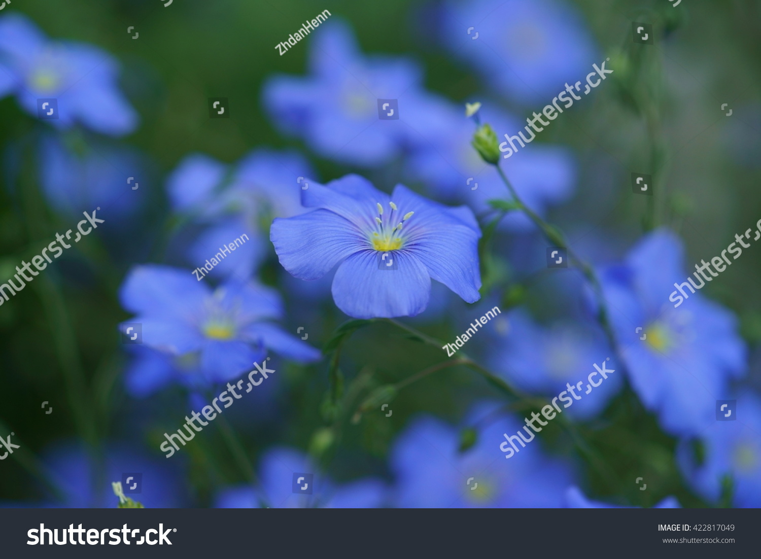 Small blue flowers flax linseed linum stock photo edit now small blue flowers of flax linseed linum usitatissimum close up with green izmirmasajfo