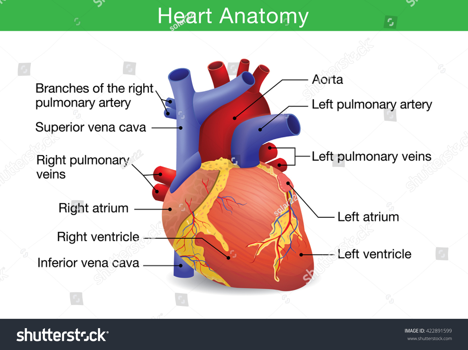Human Heart Anatomy Vector Isolated On Stock Vektorgrafik 422891599
