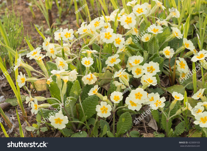 Little Yellow Primrose Flower Garden Stock Photo Royalty Free