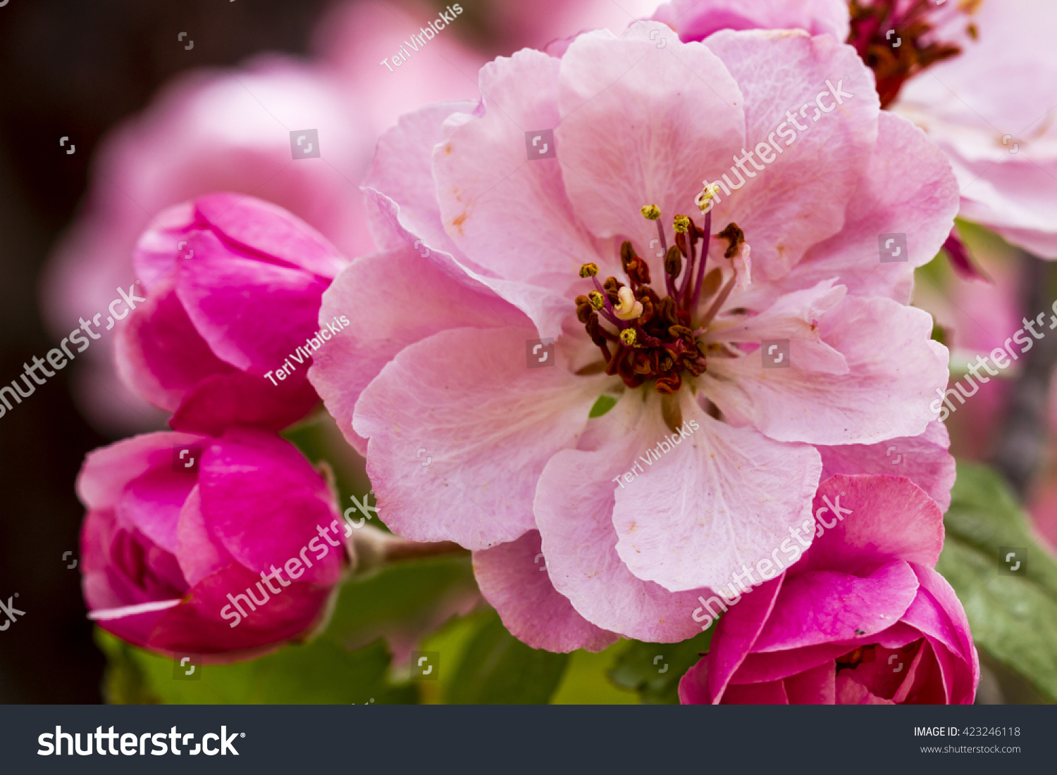Close Up Of Light Pink Crab Apple Tree Bloom Surrounded By Unopened