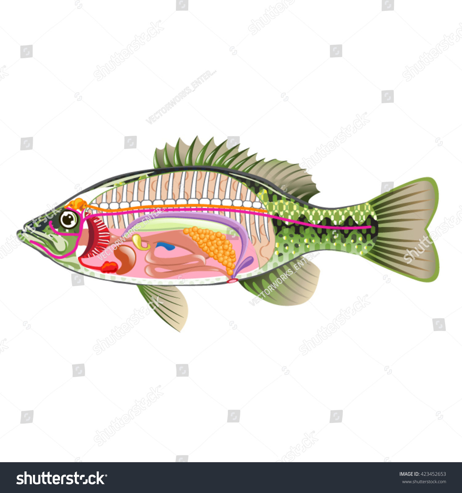 Fish Internal Organs Vector Art Diagram Stock Vector (Royalty Free ...