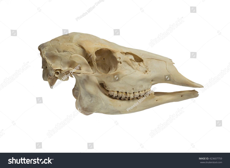 Deer Skull Side View Stock Photo (Royalty Free) 423607759 - Shutterstock
