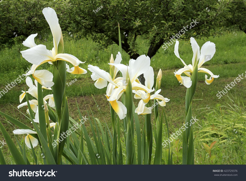 White japanese iris flowers on field stock photo 100 legal white japanese iris flowers on field izmirmasajfo
