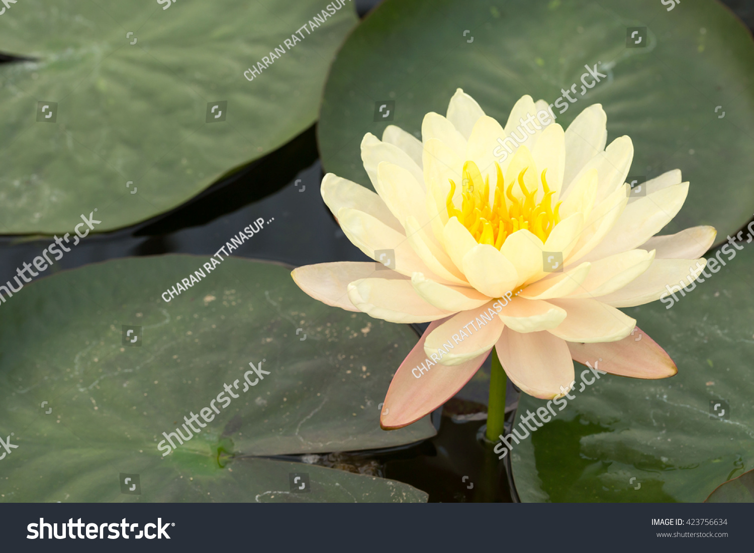 Lotus flowers yellow this flower buddha stock photo edit now lotus flowers in yellow this is the flower of the buddha should bring rustic beauty izmirmasajfo