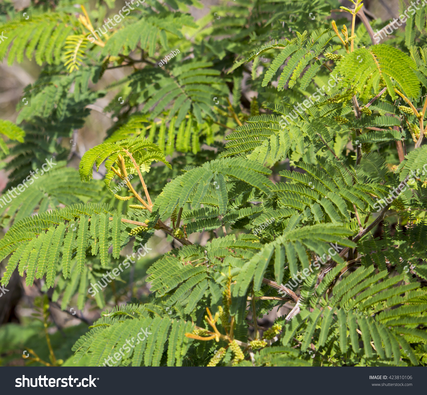 New Autumn Growth On Acacia Mearnsii Black Wattle A Fast Growing