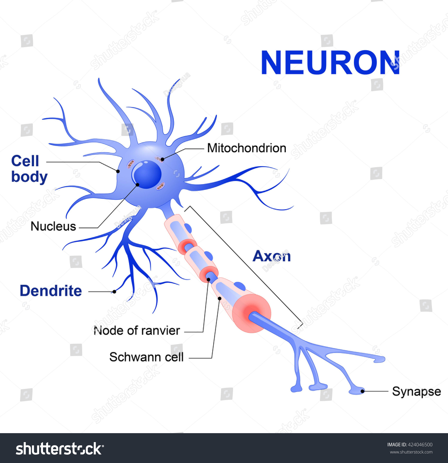 Anatomy Typical Human Neuron Stock Vector 424046500 - Shutterstock