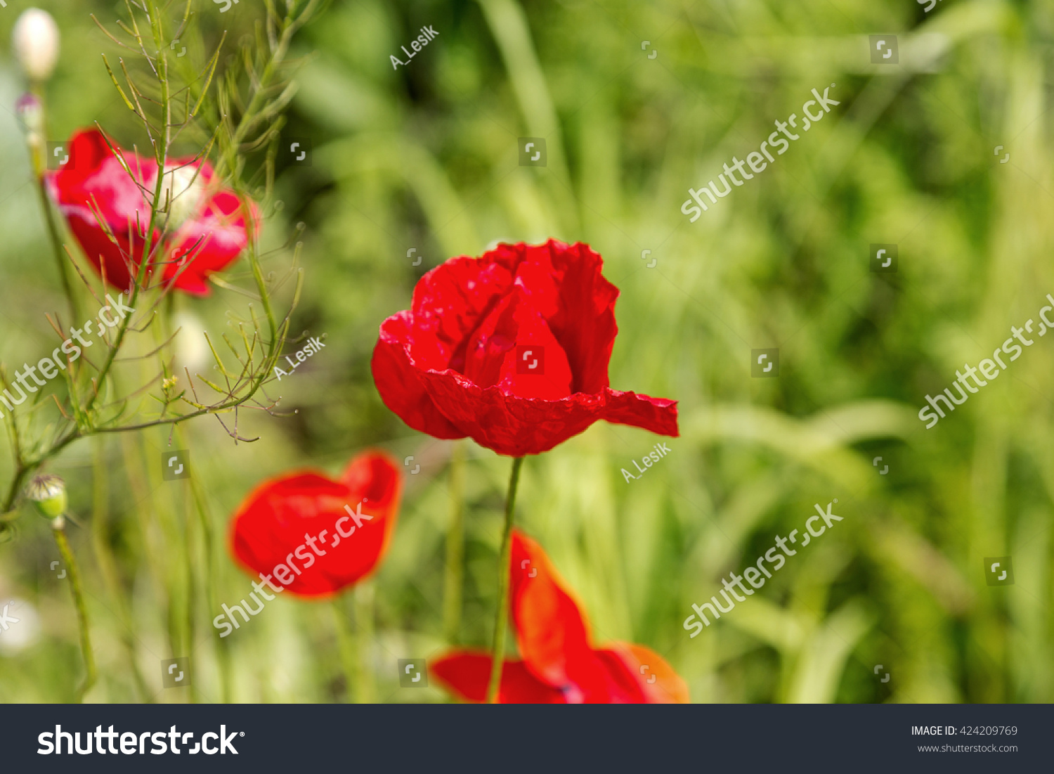 Poppy Wild Red Poppies Flowers Medicinal Stock Photo Edit Now