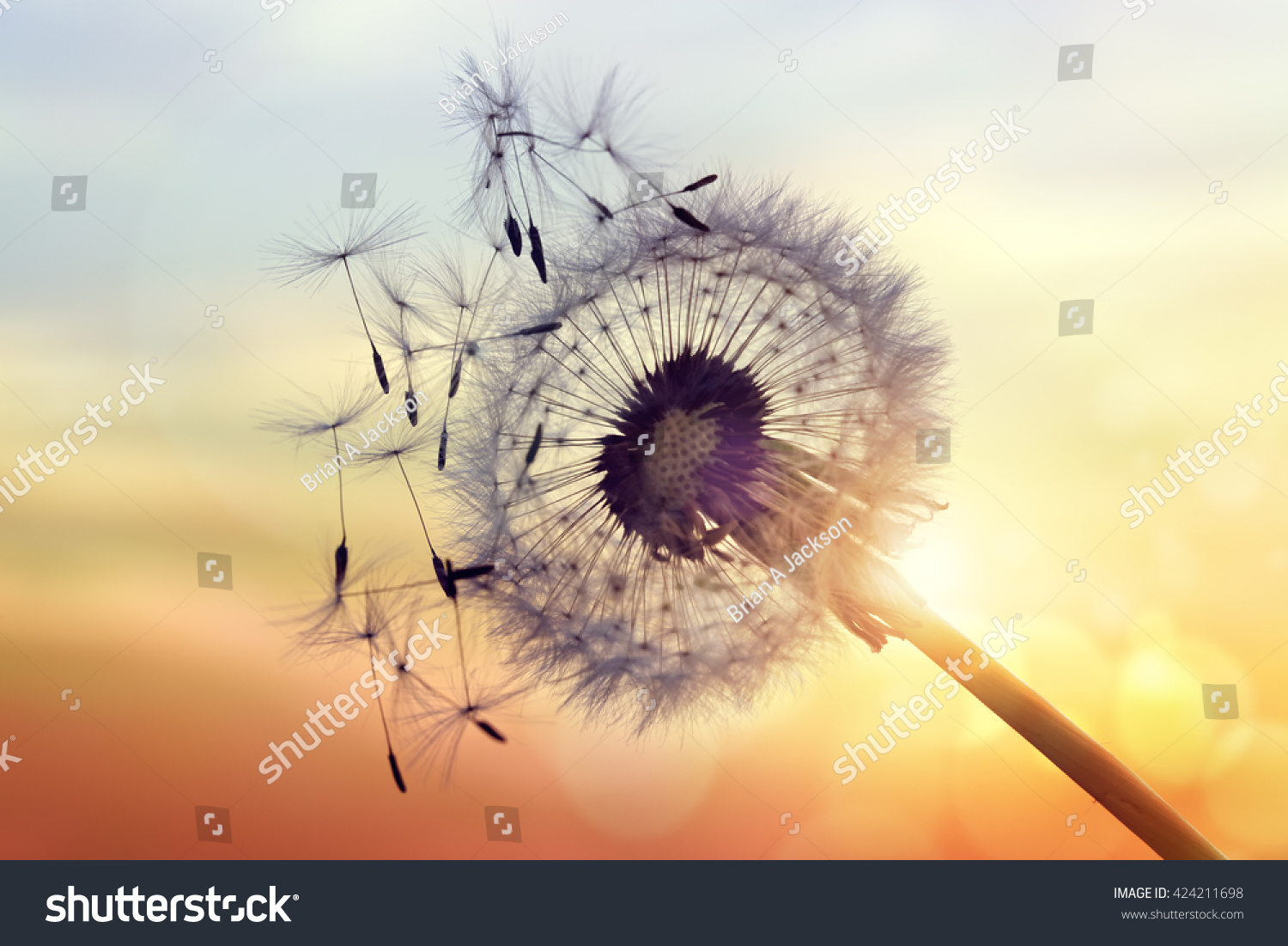 Dandelion silhouette against sunset seeds blowing stock for Refreshing pictures