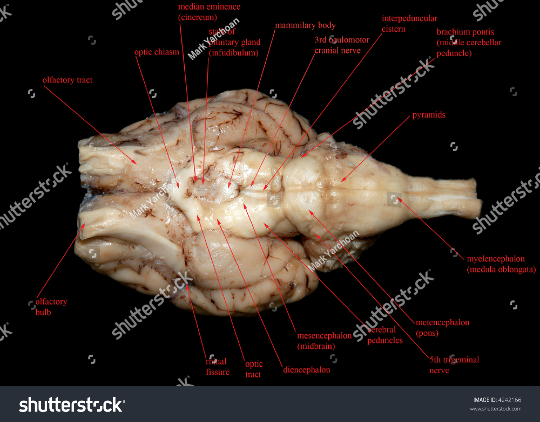 Mammalian Brain Labelled Stock Photo (Edit Now) 4242166 - Shutterstock