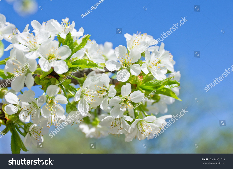 Spring Landscape The Flowering Cherry Tree Spring Blooming Garden