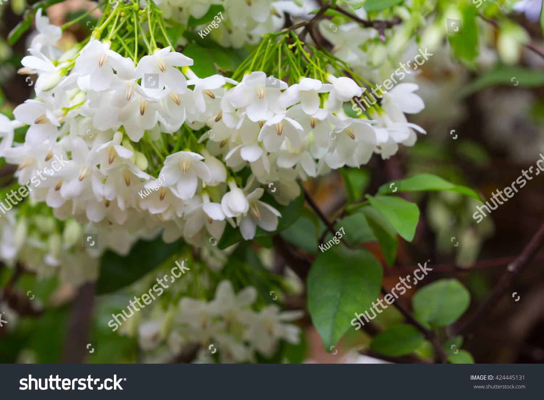 White Bougainvilleas In My Garden Ez Canvas