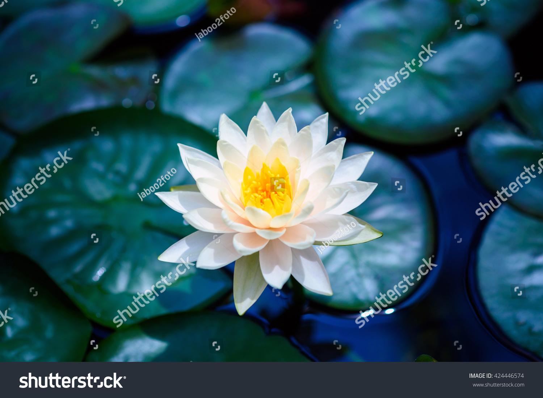 White Lotus Flower Blue Water Green Stock Photo Edit Now 424446574