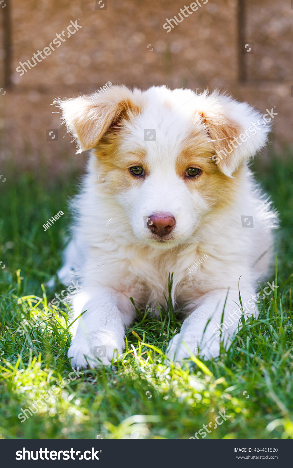Ee Red Border Collie Puppy Young Stock Photo Edit Now 424461520