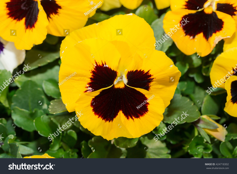Viola Black Yellow Pansy Flower Flower Stock Photo Royalty Free