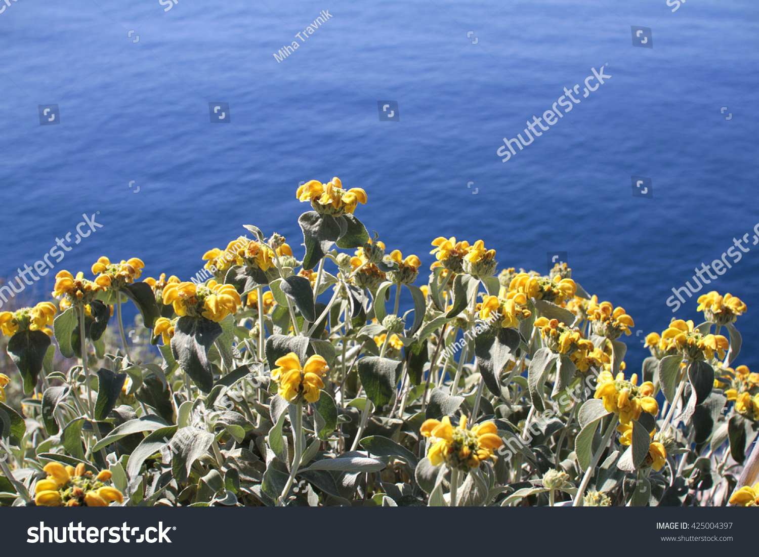 Yellow flowers with Mediteran sea background #425004397