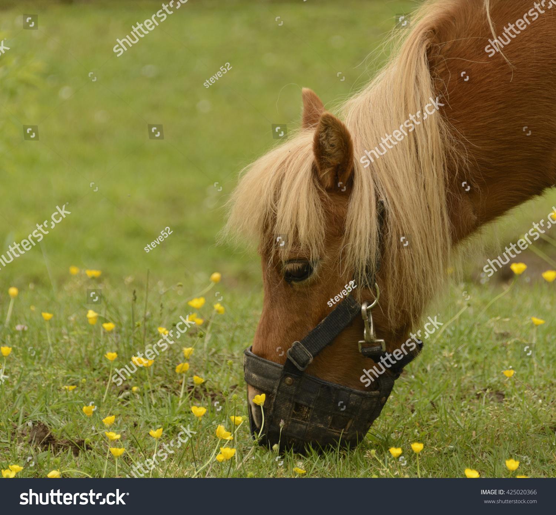 A Miniature Horse Equus Ferus Caballus Grazing Among Yellow