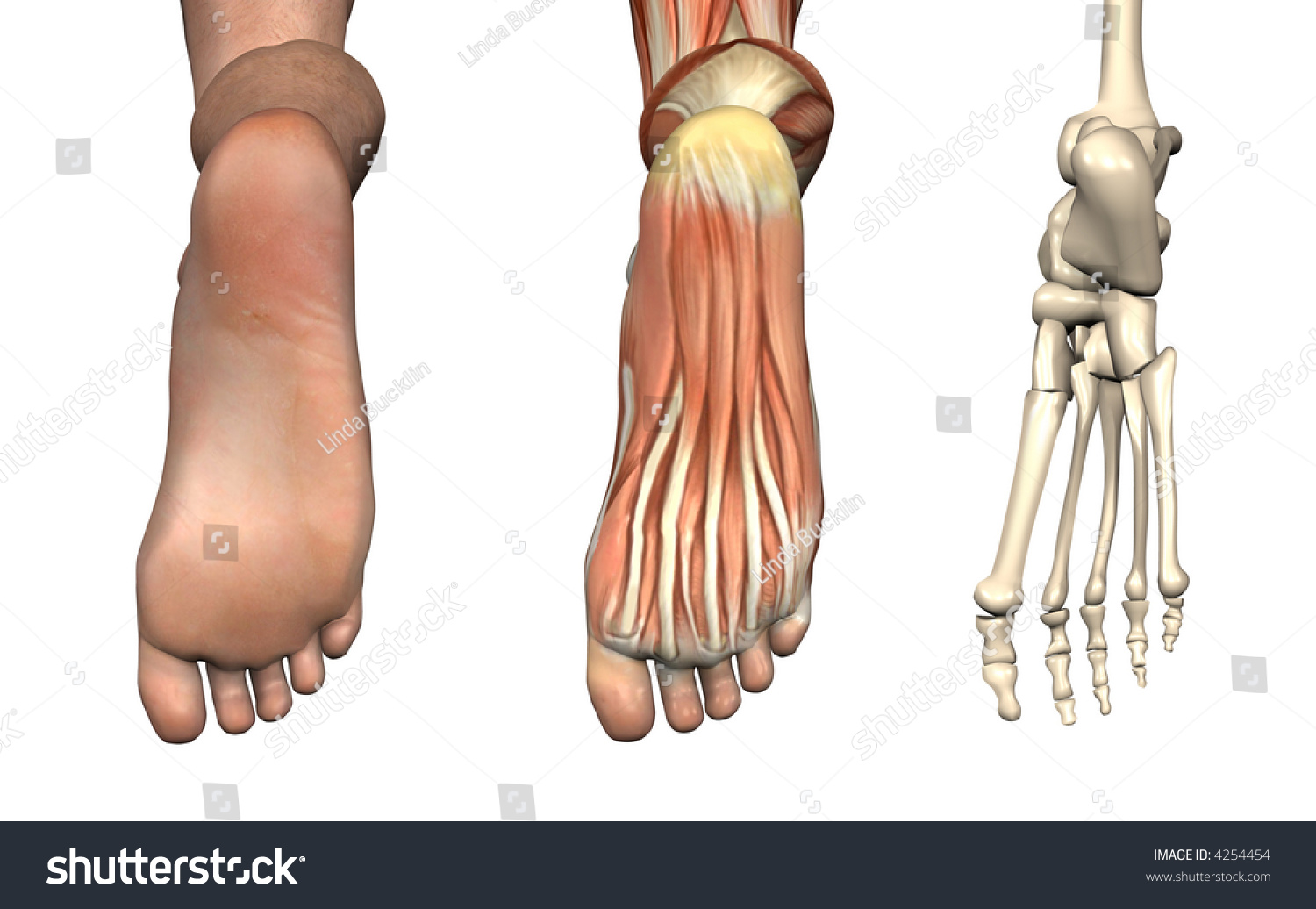Anatomical Overlays Bottom Foot These Images Stock Illustration ...