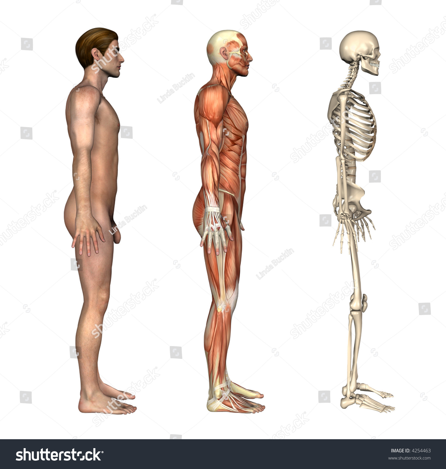 Anatomical Overlays Side View These Images Stock Illustration ...