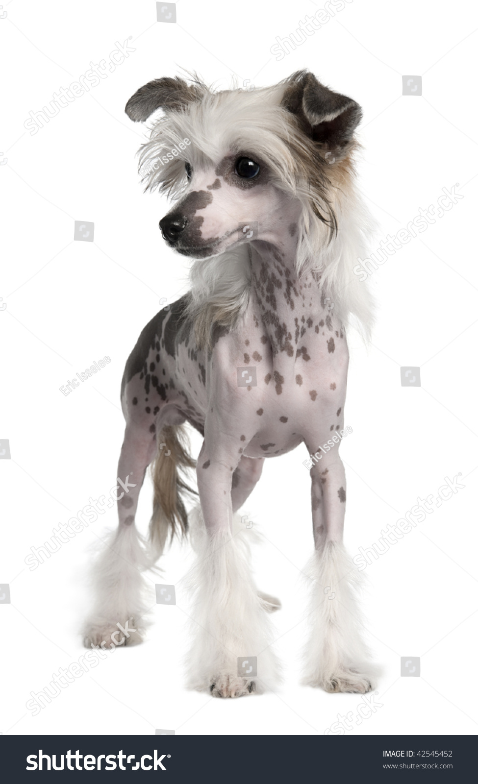 Hairless Chinese Crested Dog 3 Years Stock Photo Edit Now 42545452