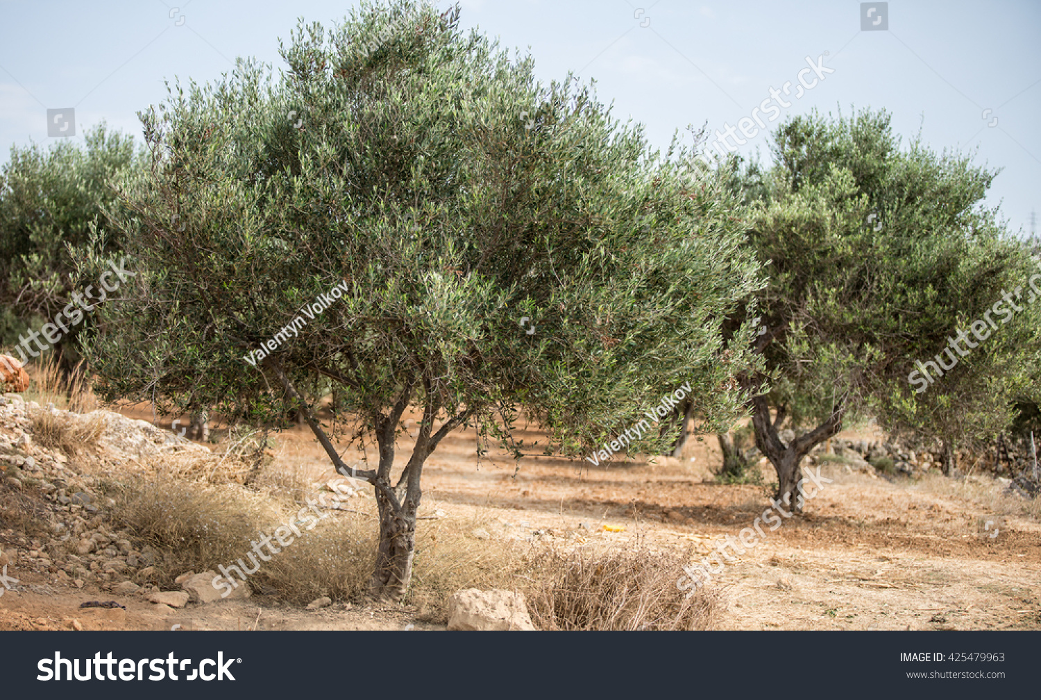 Olive Trees Garden Blue Sky On Stock Photo 425479963 - Shutterstock