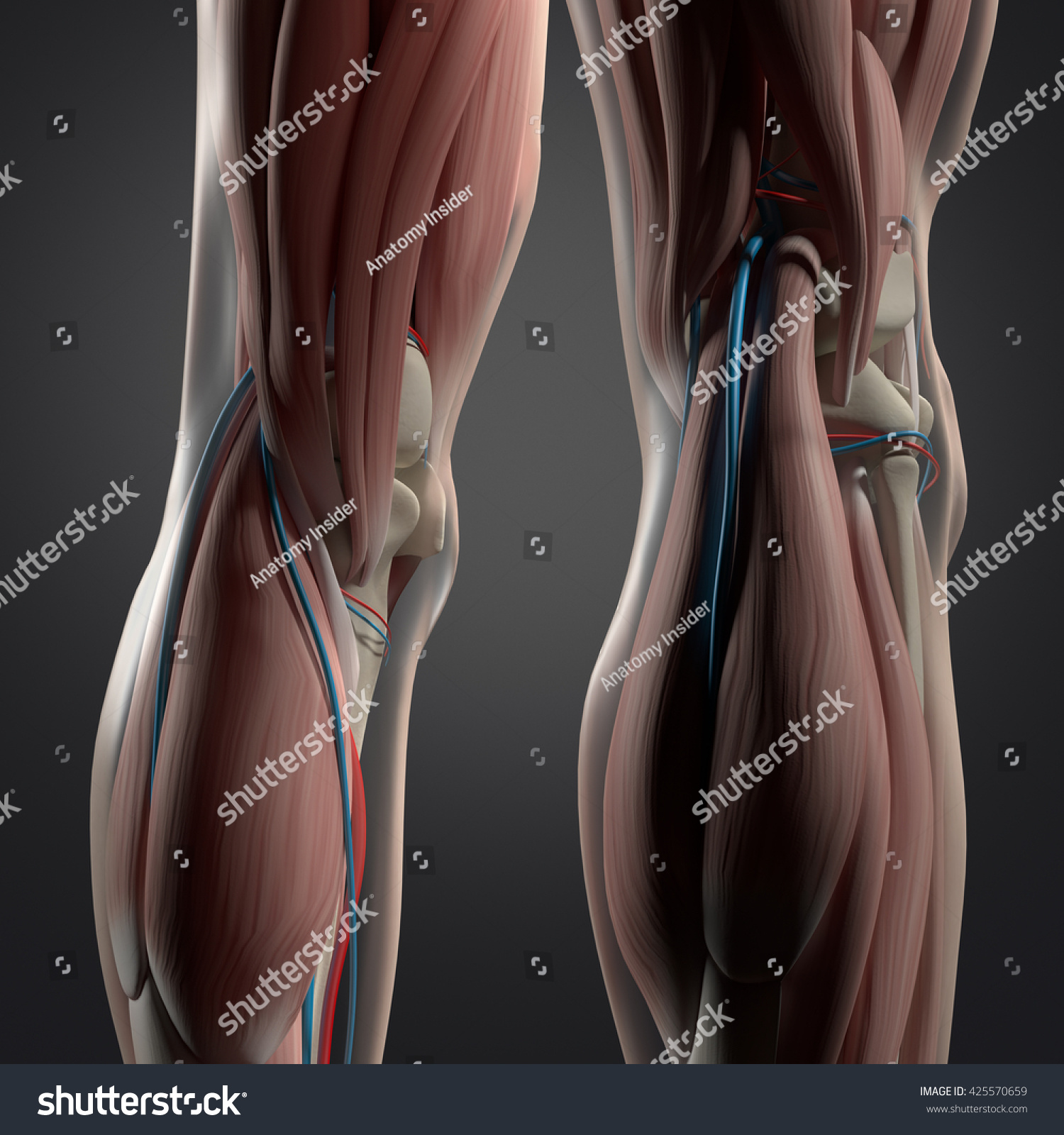 Human Anatomy Back Legs Calf Muscles Stock Illustration 425570659 ...