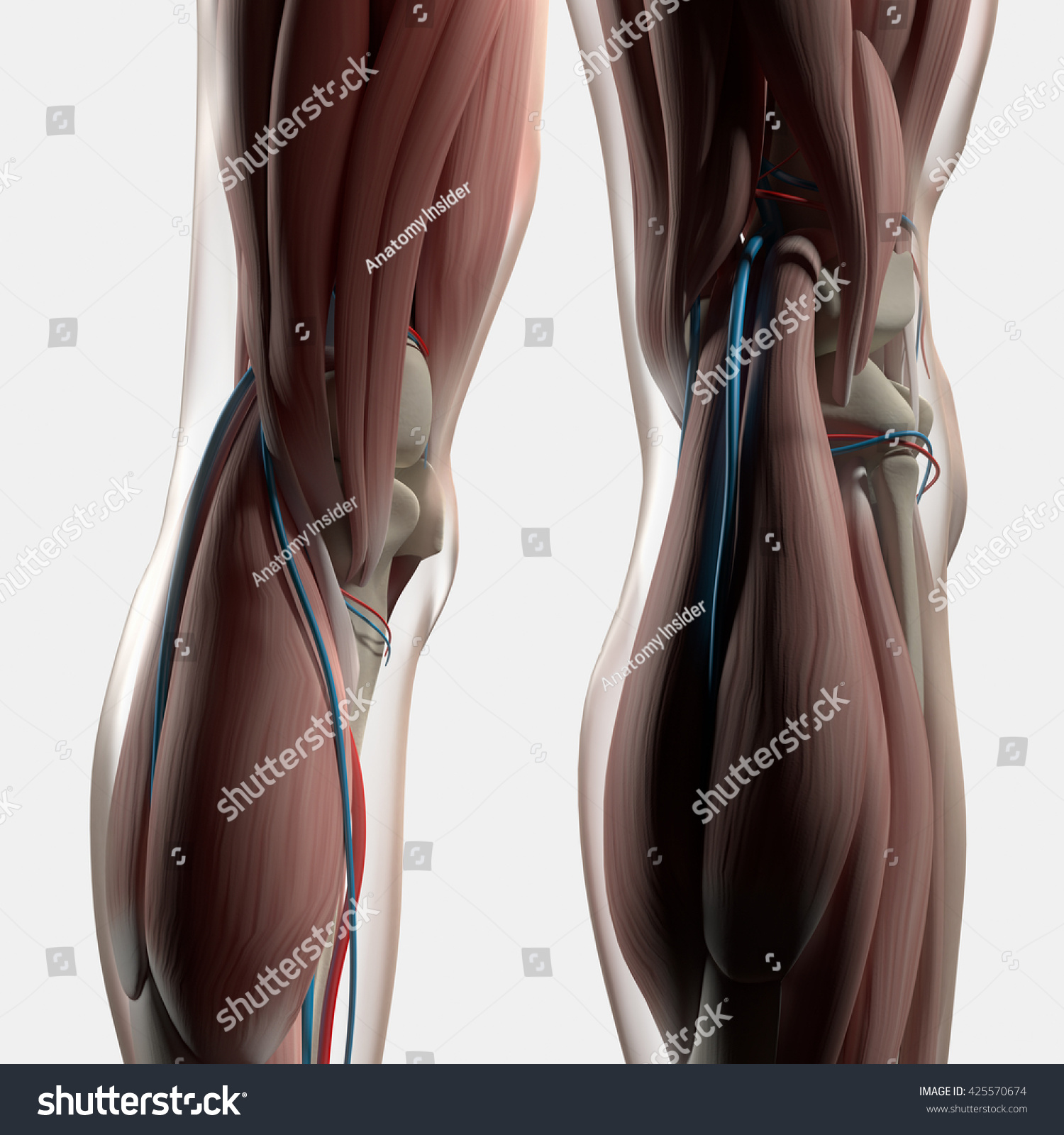 Human Anatomy Back Legs Calf Muscles Stock Illustration 425570674 ...