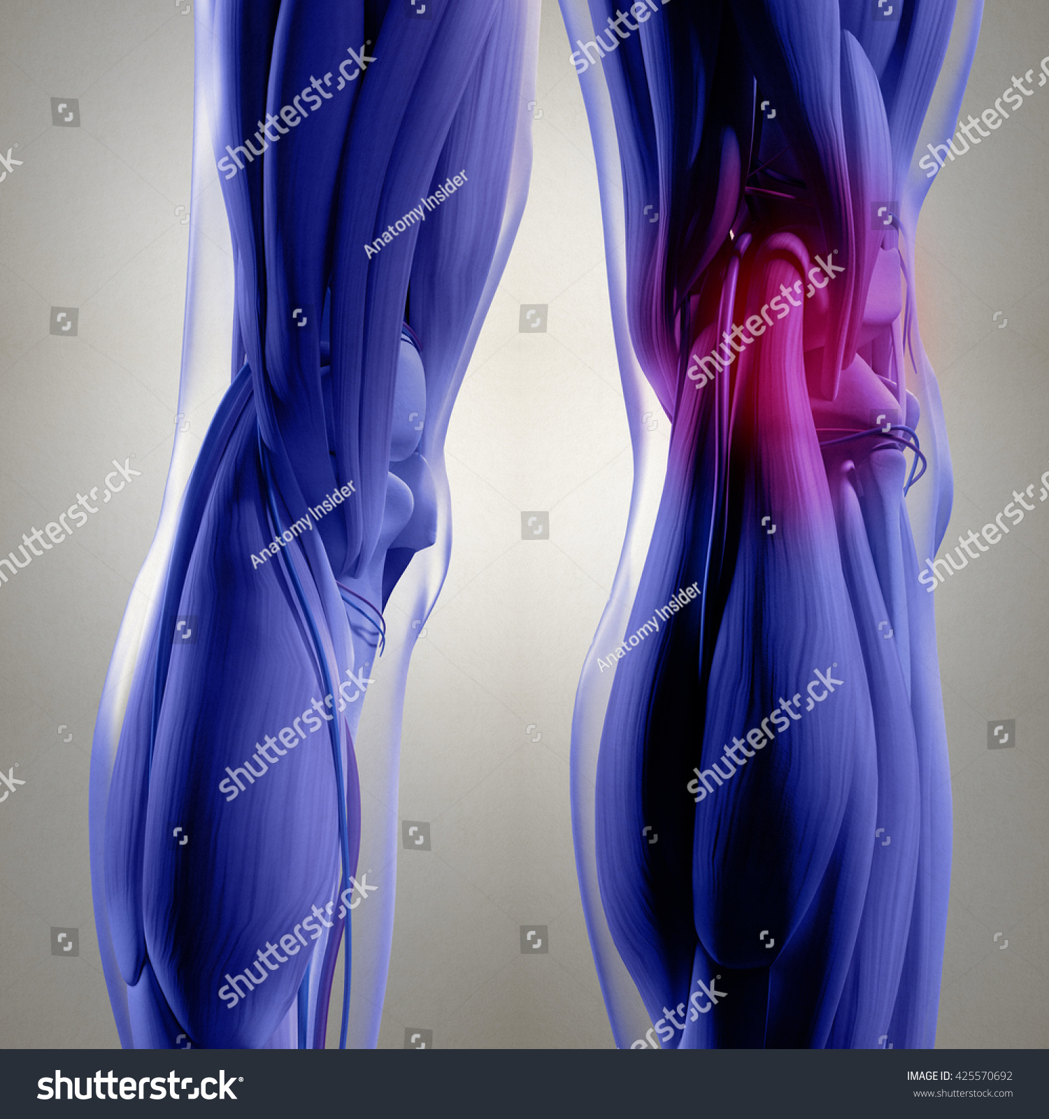 Human Anatomy Back Legs Calf Muscles Stock Illustration 425570692 ...